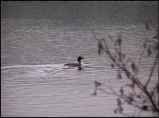 Loon on the CT River